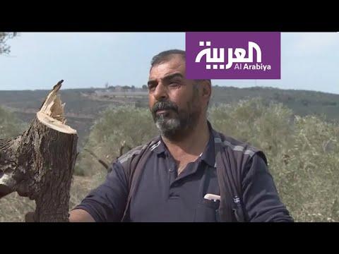 شاهد قطعان المستوطنين تقطع أشجار الزيتون في نابلس