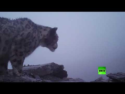 شاهد أول فيديو لنمر الثلوج على ارتفاع 4900 متر