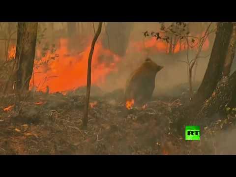 شاهد امرأة تخاطر بحياتها لإنقاذ كوالا من النار