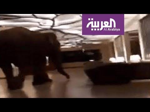 شاهد فيل ضخم يتجول في بهو فندق دون خسائر