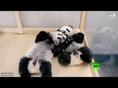 شاهد فحص طبي لصغار الباندا في حديقة حيوان برلين
