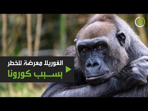 شاهد حيوان الغوريلا في أفريقيا عرضة للخطر بسبب فيروس كورونا المستجد
