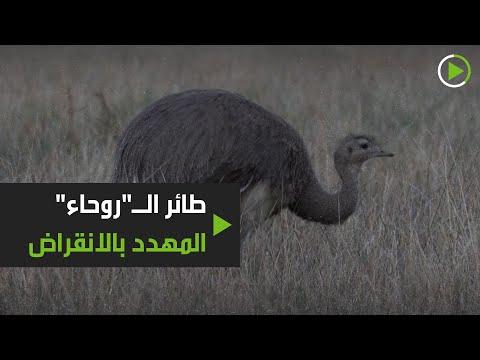 شاهد إطلاق سراح 14 من الطيور المهددة بالانقراض