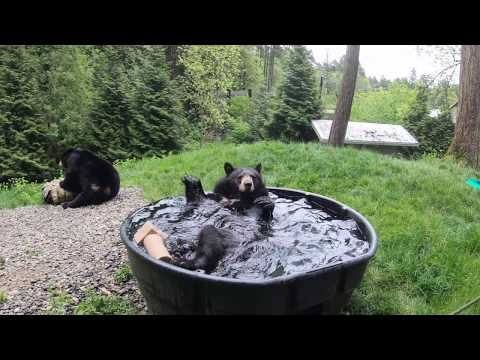 فيديو طريف لـدب يسبح بحديقة حيوانات في الولايات المتحدة