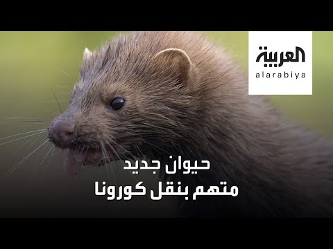 شاهد حيوان جديد متهم بنقل فيروس كورونا للبشر