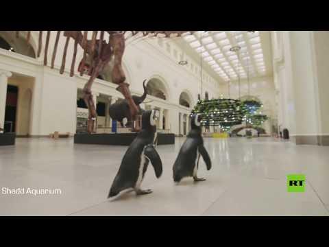 شاهد بطريقان يتجولان في متحف تشيكاغو