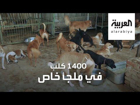 شاهد طبيبة تجمع أكثر من ألف كلب في ملجأ خاص لهذا السبب