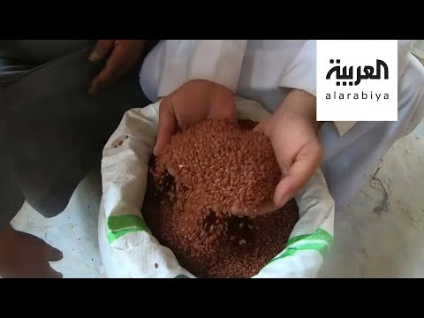 شاهد الأرز الأحمر ذهب الأحساء السعودية