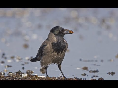 شاهد العشرات من طيور الغربان النافقة تملأ شوارع ساراتوف الروسية