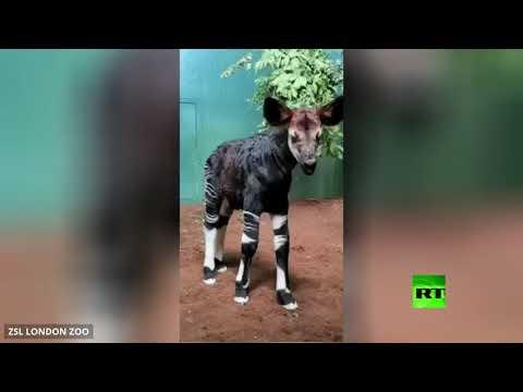شاهد كاميرات المراقبة تُسجل لحظّة ولادة حيوان مُهدد بالانقراض