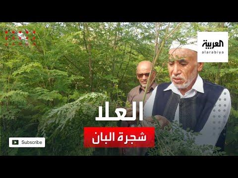 شاهد شجرة البان أيقونة الزراعة في محافظة العلا