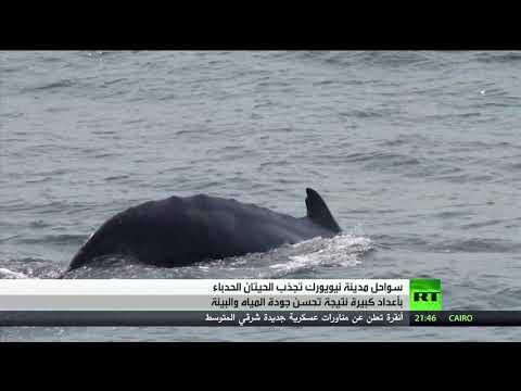شاهد سواحل نيويورك الأميركية تجذب الحيتان الحدباء بأعداد كبيرة
