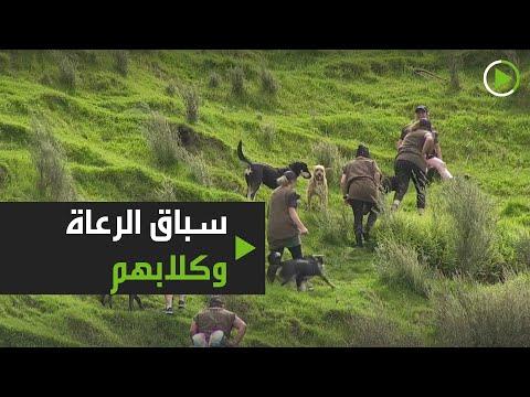 شاهد انطلاق السباق السنوي الشهير للرعاة وكلابهم في نيوزلندا