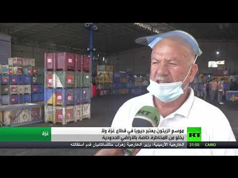 بدء موسم الزيتون وتشغيل المعاصر في قطاع غزة