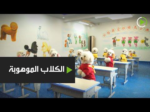 شاهد معلومات وحقائق عم الكلاب الموهوبة