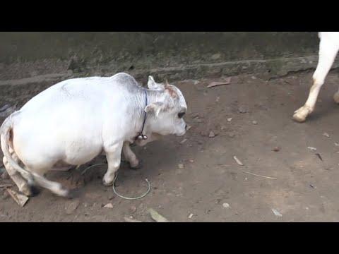 راني البقرة الشهيرة تدخل موسوعة غينيس