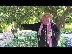المغرب اليوم  - شاهد موسم جني أزهار النارنج في تونس