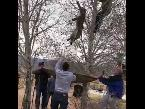 شاهد ضباط يتسلقون شجرة لمساعدة حيوان أسد الجبل